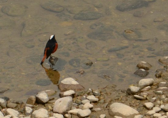 Gairal Rest House: white capper water redstart in the river near the rest house