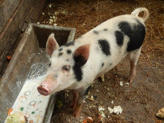 Get Real Backpackers: the pig
