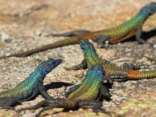 Matobo Hills : Rainbow Skinks