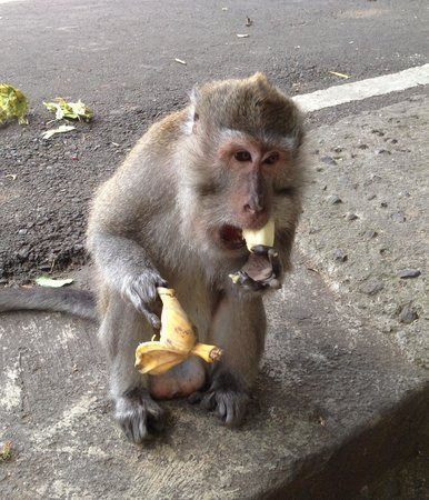 Umae Villa: Cute Monkey loving his bananas at the monkey forest