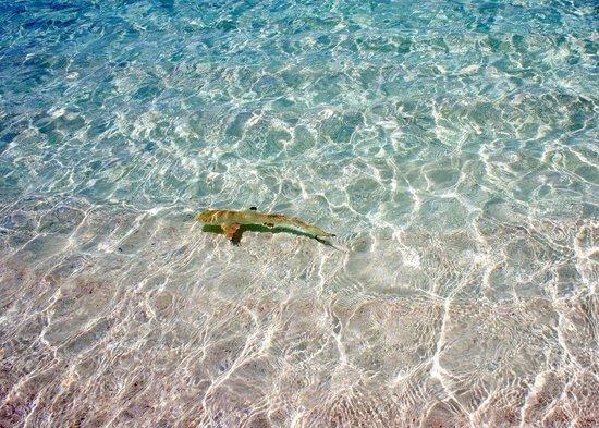 Mirihi Island Resort: Baby shark by the beach #nofilter
