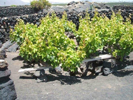 Bodega El Grifo - Museo del Vino : The wall-protected vine pit