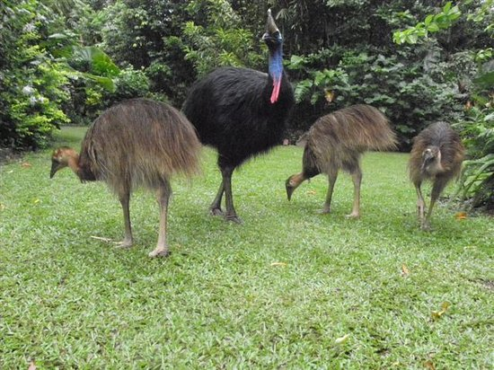 Hibiscus Lodge: Cassowary frequently visit