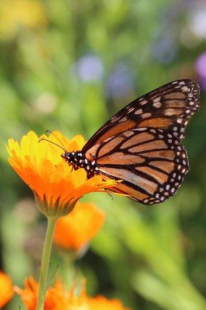 Palheiro Gardens: Und einige riesige Schmetterlinge in freier Wildbahn