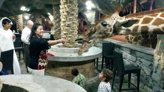 Emirates Park Zoo: Giraffe feeding... they never stop eating!
