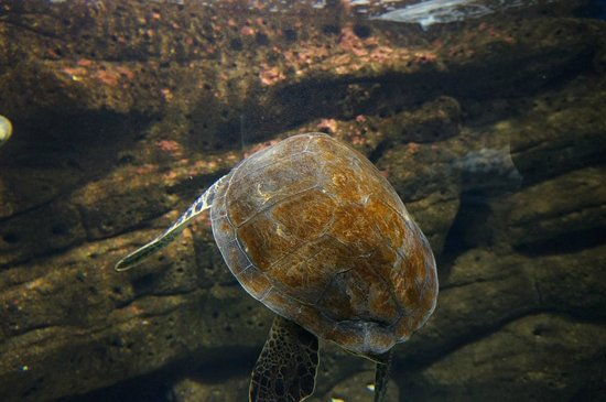 Cretaquarium Thalassocosmos : Beautiful turtle