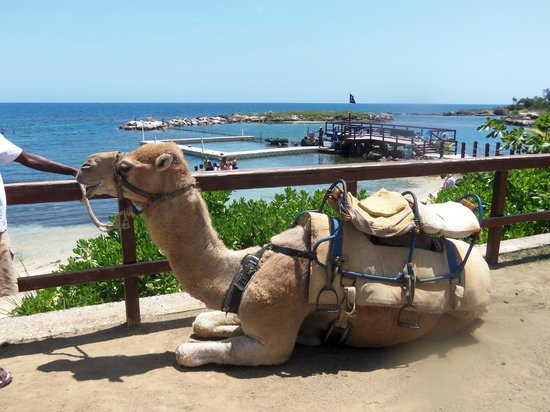 Dolphin Cove: Camel rides available