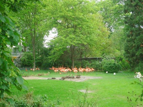 Kölner Zoo: Zoo de Cologne - Flamands roses