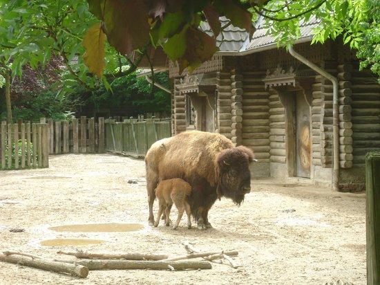 Koelner Zoo : Zoo de Cologne - Bison d'Amérique