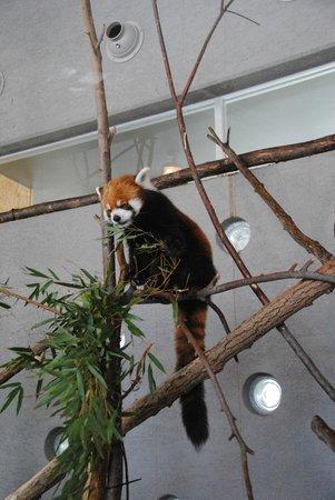 Maruyama Zoo: レッサーパンダ