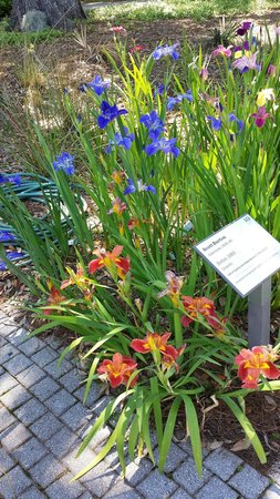 The Sydney and Walda Besthoff Sculpture Garden at NOMA: Louisiana iris along a pathway near a lagoon in the middle of the sculpture garden.  This pictur