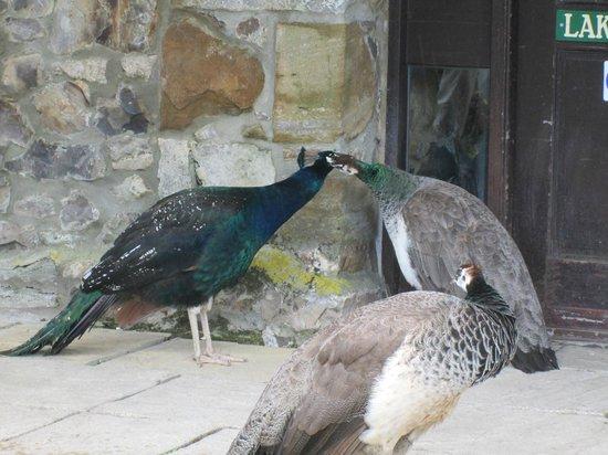 Hornsbury Mill : meet the friendly peacocks !