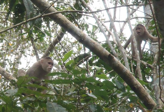 La Selva Amazon Ecolodge : Monkeys