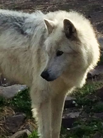Grizzly and Wolf Discovery Center: One of the white wolves.