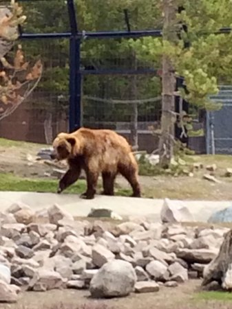Grizzly and Wolf Discovery Center: Grizzly bear.