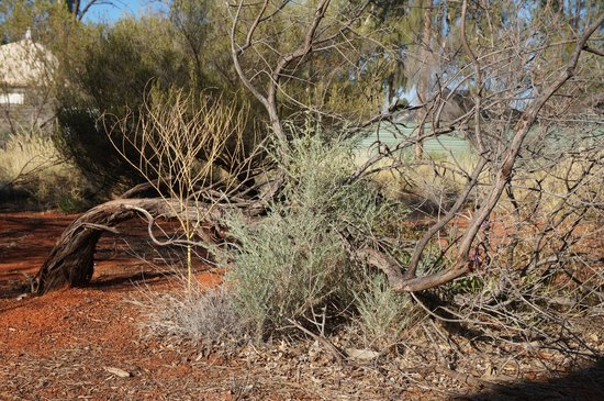 Ayers Rock Campground : some of the bush