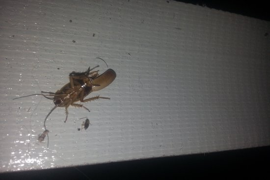 InTown Suites Tampa: This Momma Roach is loaded with eggs. Found her in bed with me