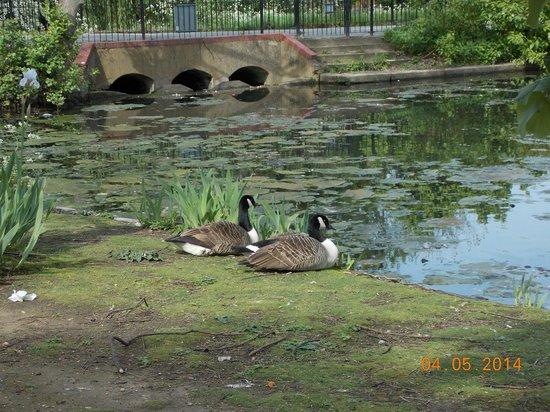 Valentines Park: Ducks Near The Pond