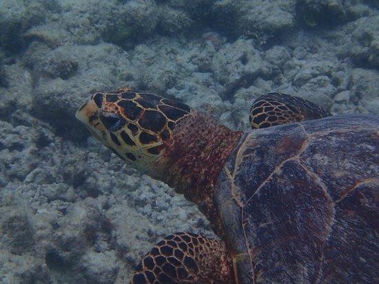 Coco Palm Dhuni Kolhu: tortue