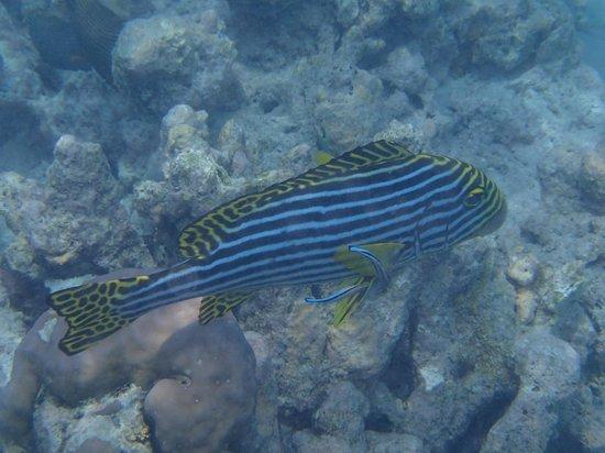 Coco Palm Dhuni Kolhu: poisson léopard lagon