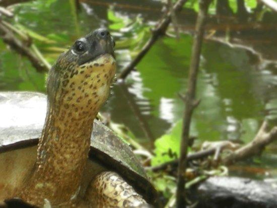 Parque Nacional Tortuguero: Tortoise