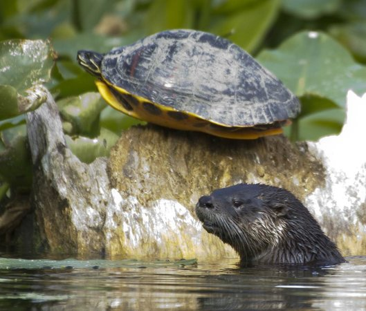 Central Florida Nature Adventures : Otter and River Cooter Turtle