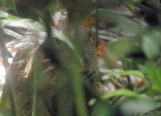 Parque Nacional Tortuguero: Nice rodent critter