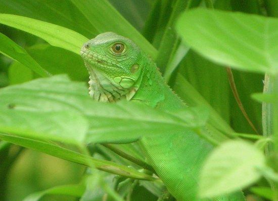 Parque Nacional Tortuguero: Green lizard perfectly mimetized