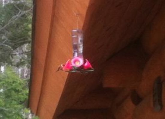 Clearwater Springs Ranch: Hummingbirds are playful and FAST