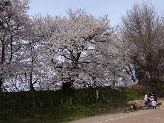 Kajo Park: 最上兼頼手植えの霞城の桜