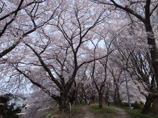 Kajo Park: 桜並木がぐるっと一周します
