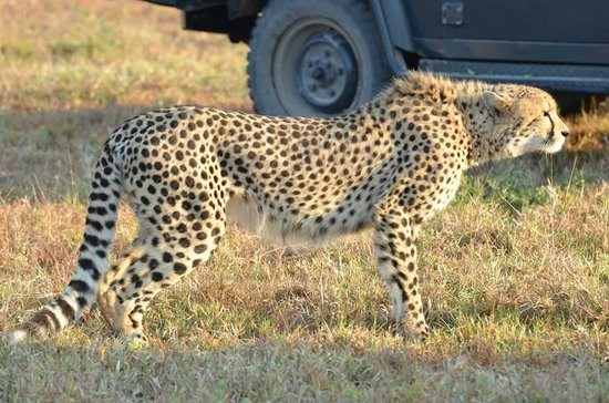 Savanna Private Game Reserve : Cheetah watching Impala off in the distance. Amazingly fast.