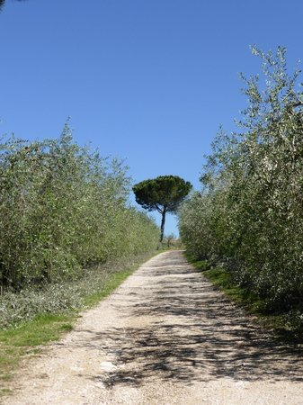 Agriturismo Casale dei Frontini : The Olive lined road leading to the Agriturismo