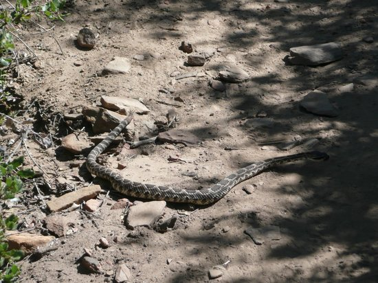 Julian, Kalifornien: Rattle snake in the middle of the trail