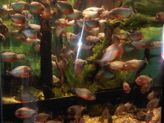 Oceanarium: Piranhas
