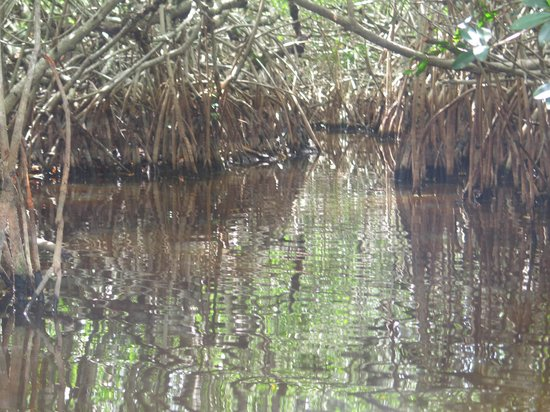 Everglades Rentals & Eco Adventures: mangroves