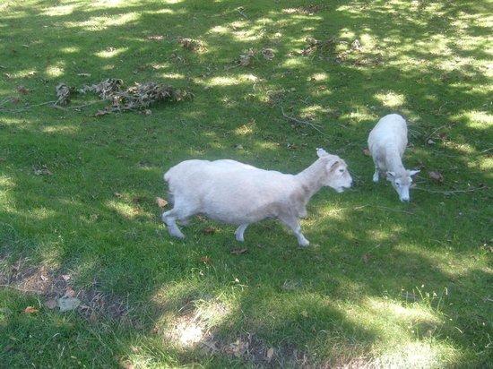 One Tree Hill (Maungakiekie): Sheeps