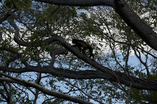 Andaz Peninsula Papagayo Resort: Monkey by the pool