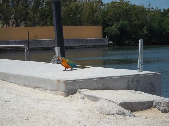 Hampton Inn Key Largo: The Macaw Bird should be promoted to Bartender!
