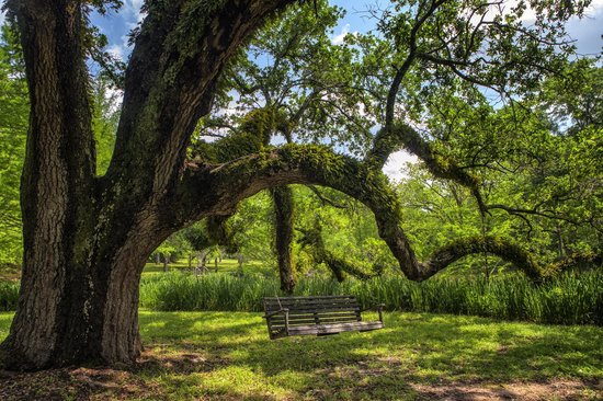 Brandon Hall Plantation : Giant oak with swing