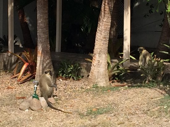 The Mount Nevis Hotel: Lots of monkeys visiting