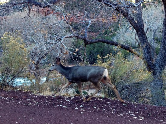 Zion Lodge : Wildlife