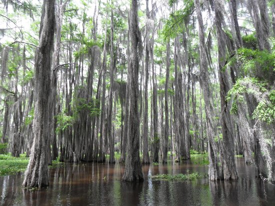 Caddo Outback Backwater Tours: Bald cypress