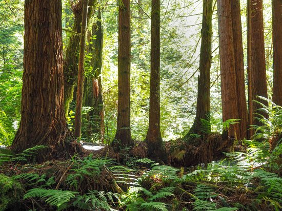 Trees of Mystery: Redwood trees