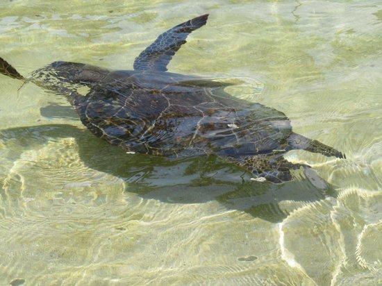 Hilton Waikoloa Village: swimming with turtle in the Lagoon