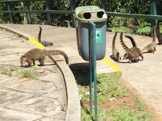 Belmond Hotel das Cataratas : Coatimundis on the prowl.