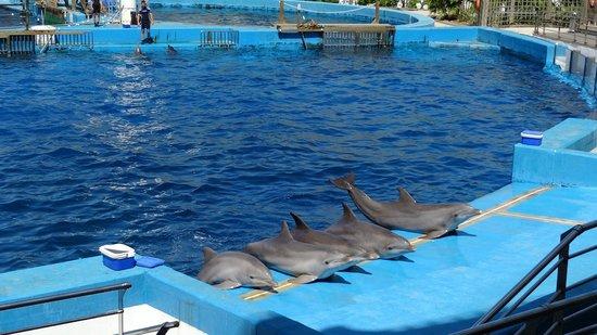 Oceanografic: Show com os golfinhos