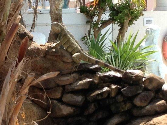 Caribbean Palm Village Resort: Pool area iguanas