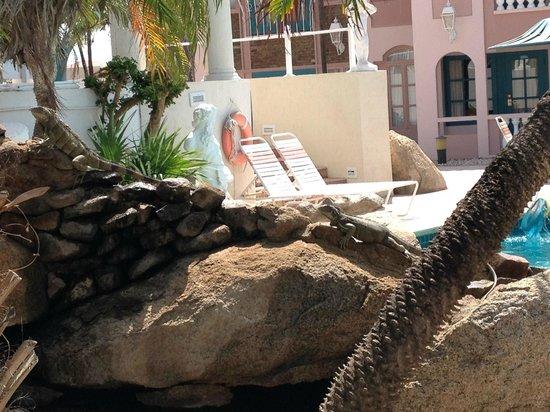 Caribbean Palm Village Resort: Resident Iguanas