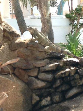 Caribbean Palm Village Resort: Iguanas around the pools